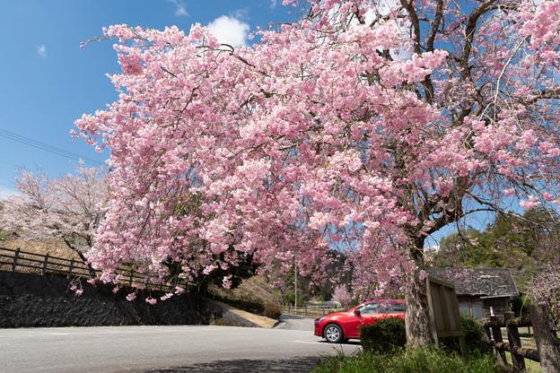 篠山・ふるさとの川公園の桜・3