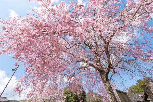 篠山・ふるさとの川公園の桜・4
