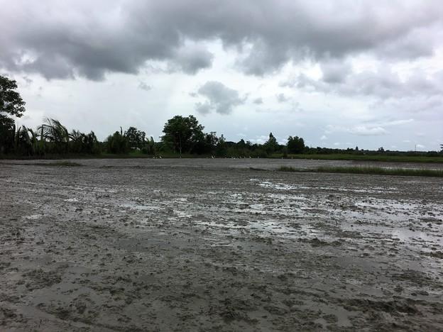 Twantayの田圃 (9)