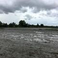 写真: Twantayの田圃 (9)