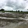 写真: Twantayの田圃 (10)