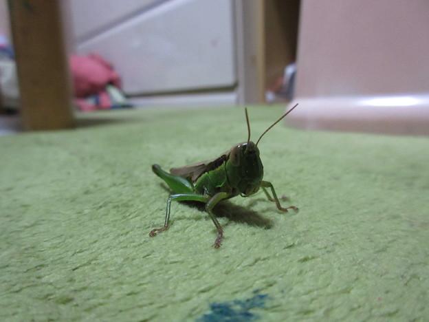 Photos: バッタ