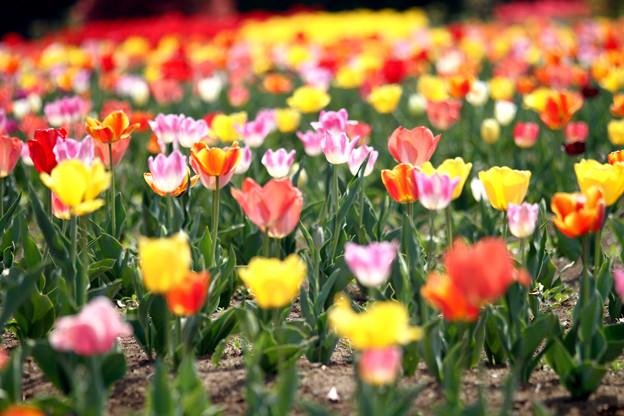 写真: 咲いた咲いた