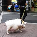 写真: 散歩豚