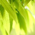 写真: 柔らかな新緑