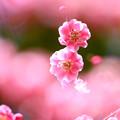 写真: 満開の梅
