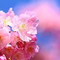 写真: 5分咲きの河津桜
