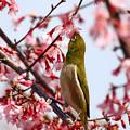 写真: 小さな野鳥と小さな桜