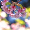 写真: 葉桜になる早咲きの桜
