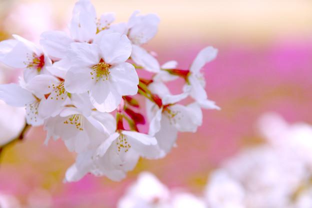 Photos: 爛漫の春