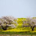 Photos: 二本の桜