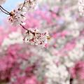 Photos: 桜と花桃