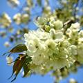 Photos: ウコン桜