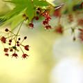 Photos: 楓の花