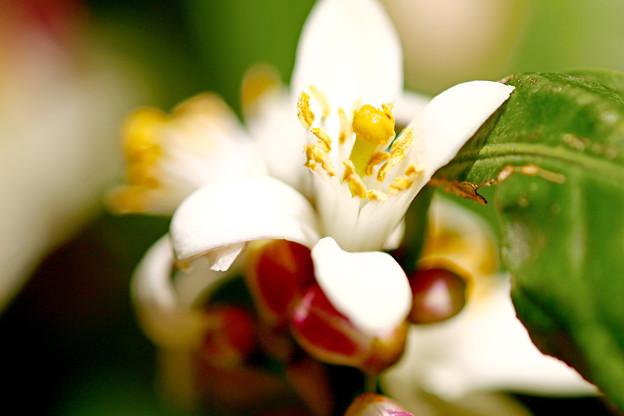 庭のレモンの花