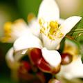 Photos: 庭のレモンの花