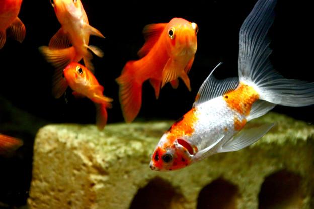 Photos: 我が家の金魚
