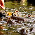 Photos: 鯉の群れ