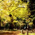 東京の銀杏