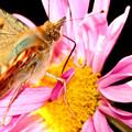Photos: 晩秋の蝶