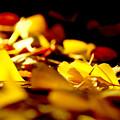 Photos: 西日の当たるイチョウ並木