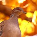 秋のキジバト