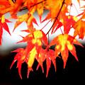 Photos: 見頃の紅葉