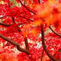 見頃の紅葉