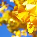Photos: 綺麗な黄色