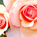 Photos: Two roses