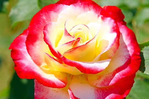 2色のバラ