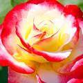 Photos: 2色のバラ