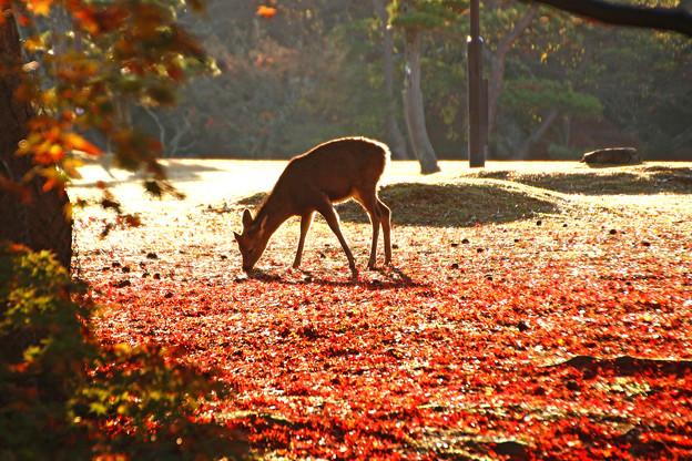 晩秋の奈良公園