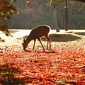 Photos: 晩秋の奈良公園