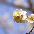 Photos: 春よ来い