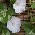 Photos: 淡い青が咲いた♪