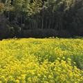 Photos: 菜の花畑