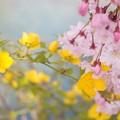 山吹と枝垂れ桜