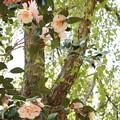 椿と桂の木