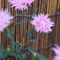 写真: 撫子が咲いた