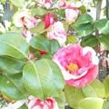Photos: 鉢植えの椿