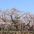 弘前城 本丸の桜