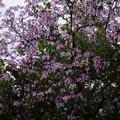 写真: ピンク (バウヒニア )