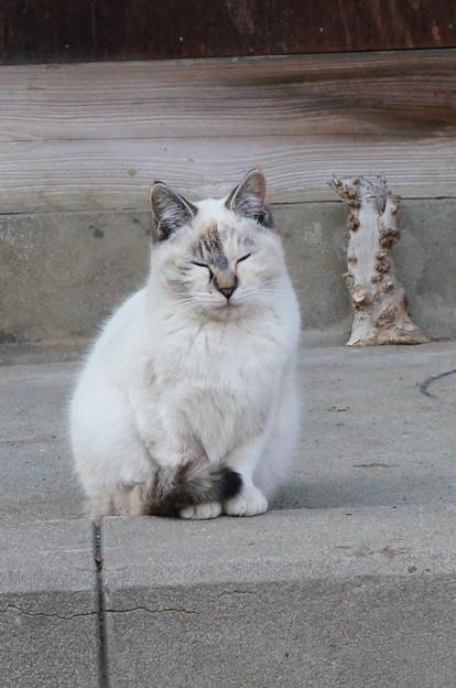 シャムミックス猫?