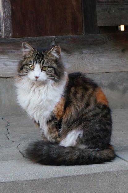 野良猫三毛ちゃん(長毛)