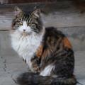 写真: 野良猫三毛ちゃん(長毛)