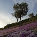 Photos: 芝桜の里 暮れる