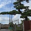 Photos: 電車と松