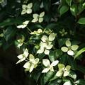 常緑ヤマボウシDSC03311