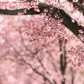 写真: お亀桜-03509